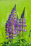 Lupin flowers (Lupinus) Royalty Free Stock Images