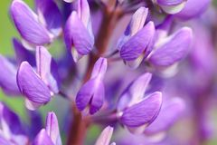 Lupin flowers (Lupinus) Stock Photo