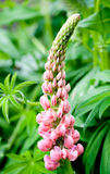 Lupin flowers Stock Image