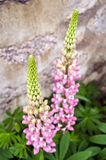 Lupin Flowers Royalty Free Stock Images
