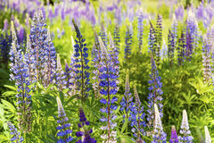 Lupin flowers. In a summer garden Royalty Free Stock Photography
