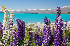 Lupin Lake. Lupins in the spring sunshine backed by stunning turqoise lake and mountains, new zealand Stock Photo