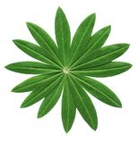 Lupin leaf. Close-up of a perfect green lupin leaf isolated on white background Royalty Free Stock Photo