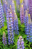 Lupin (Lupinus angustifolius) Patch Stock Photo