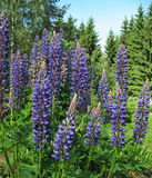 Lupin (Lupinus), family Fabaceae. In the garden Stock Photography