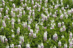 Lupin Lupinus Stock Images