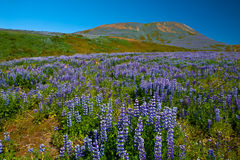Lupin and mountains Stock Photos