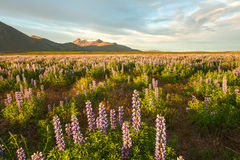 Lupin and mountains Royalty Free Stock Photography