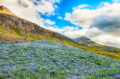 Lupin and mountains Royalty Free Stock Photos