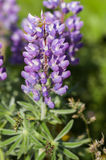 Lupin plant blooming in the spring Royalty Free Stock Photo