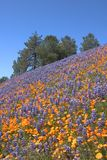 Lupin Poppy Hill Royalty Free Stock Photography