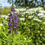 Lupin pourpre Photographie stock