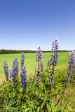 Lupin pourpre, wildflowers Images stock