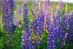 Lupin. Purple flowers at sunset Royalty Free Stock Photos