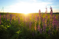 Lupin. Purple flowers at sunset Stock Image