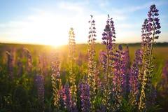 Lupin. Purple flowers at sunset Stock Image