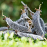 Lupin seeds. Lupin seed pods drying showing the pods opening to reveal the seeds Royalty Free Stock Photo