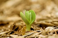 Lupin sprout Stock Images