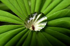 lupin transmisyjnego zdjęcie royalty free