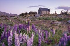 Lupinblomma och kapell av herdar vid sjön Tekapo, Nya Zeeland fotografering för bildbyråer