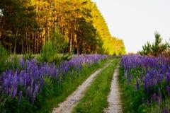 Lupine łąka Obrazy Royalty Free