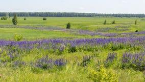 Lupine łąka, zalewający jaskrawy i dzicy ziele, - zielona łąka z kwiatami Panoramy tła tapety krajobrazowy sztandar Kwitn?? zdjęcie royalty free