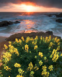 Lupine Μπους στην παραλία στοκ εικόνες