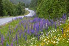 Lupine της Νορβηγίας Στοκ Εικόνες