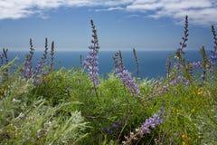 Lupine υνιού που αγνοεί το Ειρηνικό Ωκεανό Στοκ Εικόνες