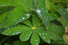 Lupine лист в дождевых каплях Стоковое Изображение