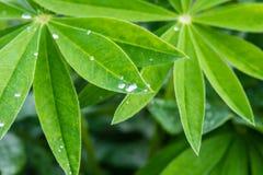 lupine листьев падений росы Стоковые Фото