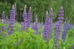 lupine цветка Стоковое фото RF
