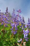 Lupine Stock Photography