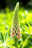 Lupine Stockfotos