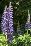 Lupine Stock Photos