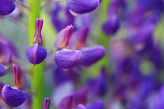 Lupine. Close up of a lupine Stock Photo