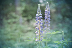 lupine Photographie stock