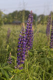 lupine Photo stock