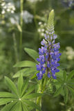 lupine Foto de Stock Royalty Free