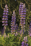 lupine Fotos de Stock Royalty Free