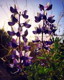 lupine Imagens de Stock Royalty Free