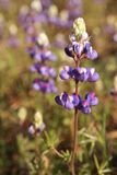 Lupine azul Fotografía de archivo libre de regalías