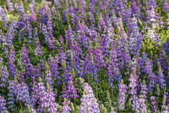 Lupine background Royalty Free Stock Photography