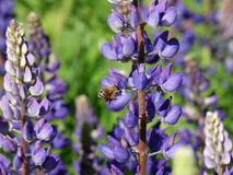 Lupine Bee Stock Photography