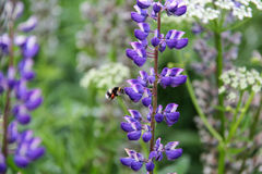 Lupine and bee Stock Photography