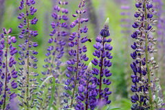 Lupine and bee Royalty Free Stock Photo