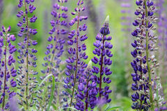Lupine and bee Stock Image