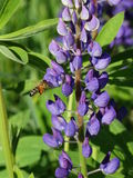 Lupine Bee. Nature Outdoor Outdoorlife Wildflowers Flowers Summer Sun Plants Bee Royalty Free Stock Photo