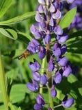 Lupine Bee Royalty Free Stock Photo