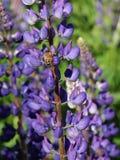Lupine Bee Stock Image